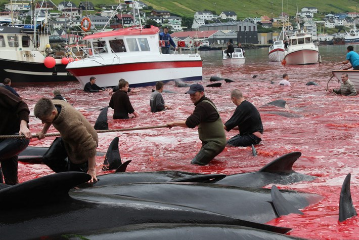 Faroe Islands Pilot Whale Hunt1 2014 08 05
