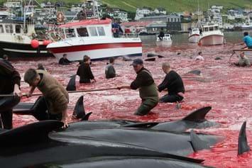 Faroe Islands Pilot Whale Hunt1 2014 08 05