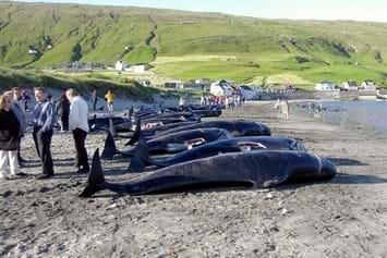 Faroe Islands Pilot Whale Hunt 2014 08 05