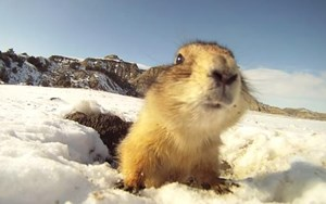 Video: Prairie dogs face off with a GoPro camera