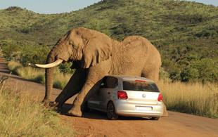 IN PHOTOS: Elephant uses car as a scratching post