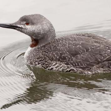 red-throated loon_2014_08_12