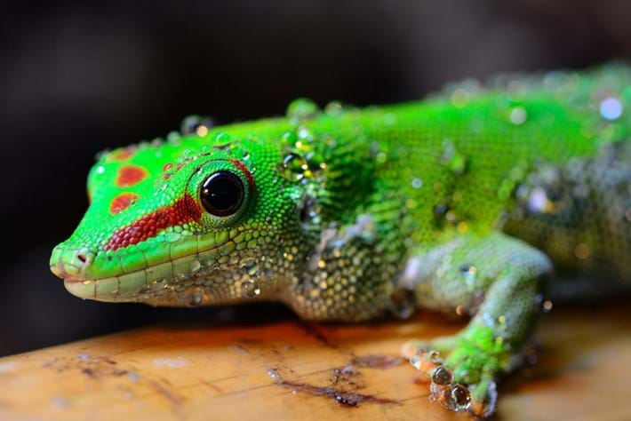 Phelsuma Grandis Day Gecko 2014 08 19