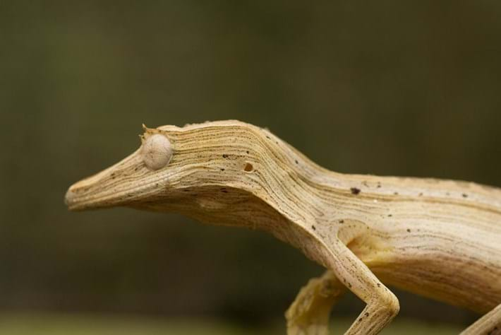 Uroplatus Lineatus Lined Leaf Gecko 2014 08 19