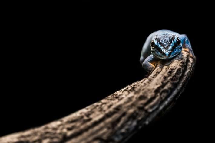 Lygodactylus Williamsi Turquoise Dwarf Gecko 2014 08 19
