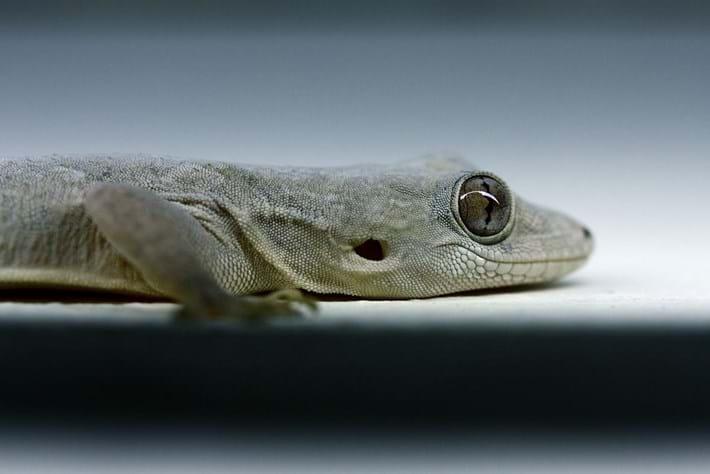 Hemidactylus Leschenaultii 2014 08 19