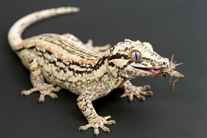 Gargoyle Gecko 2014 08 19