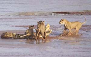 Lions vs crocodile: Tense battle caught on camera in Kenya