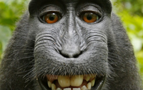 US regulators confirm that nobody owns the monkey selfie