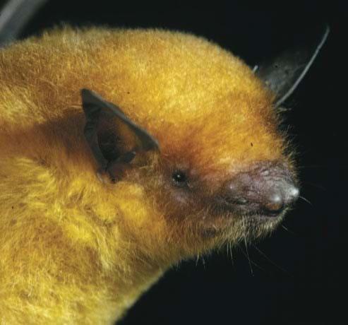 Golden Bat Bolivia 2014 08 26