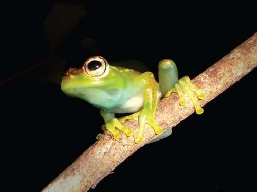 New Tree Frog Madagascar 2014 08 26