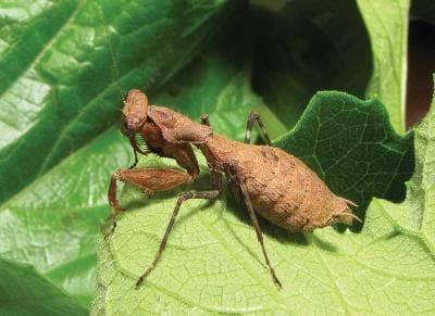 Bush Tiger Mantis 2014 08 26