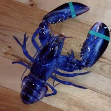 Blue _lobster _2014_08_27