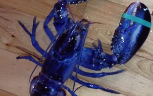 Rare blue lobster is a one-in-two-million find