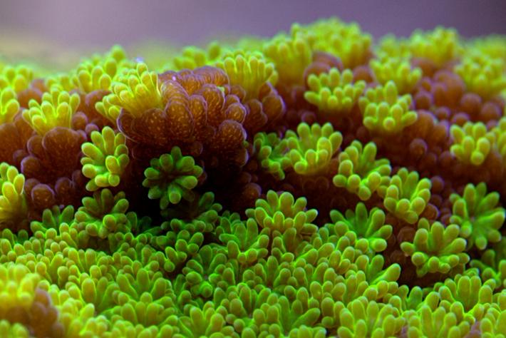 Montipora australiensis coral_2014_08_28