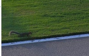 Brave squirrel plays chicken on the race track