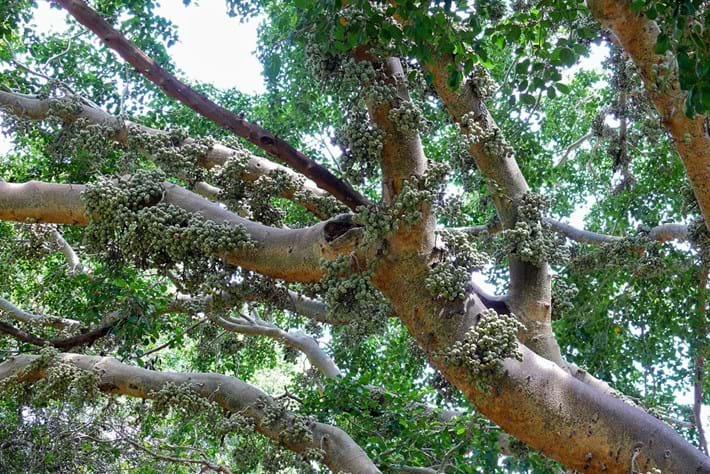 Sycamore Fig 2014 09 02