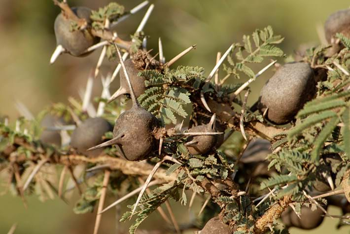 whistling thorn acacia_2014_09_02