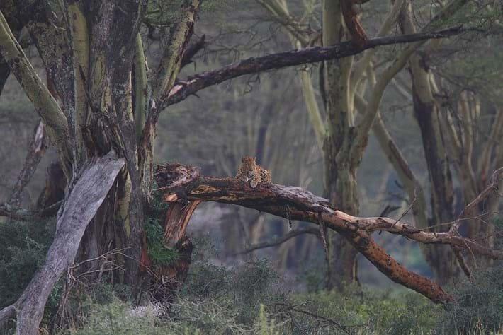 Fever Trees Leopard 2014 09 02