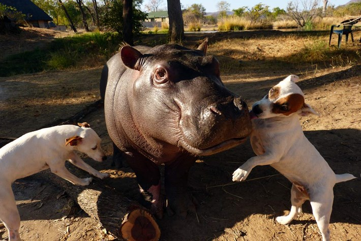 In photos: Dog-loving hippo orphan released back into the wild
