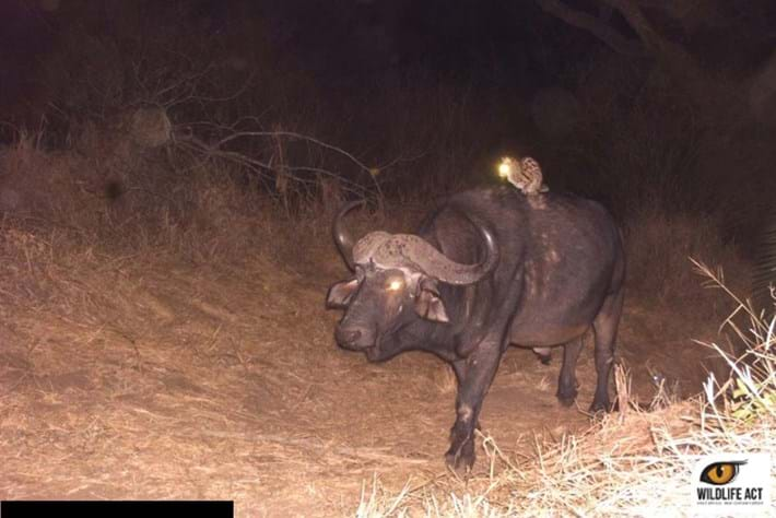 Camera traps capture a buffalo-riding wild cat in South Africa