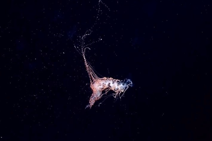 siphonophore-2014-9-3