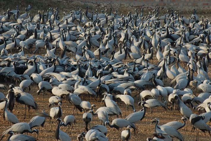 Demoiselle Cranes India_2014_09_04