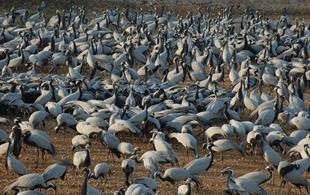 Comeback cranes: The amazing story of 15,000 birds & one village