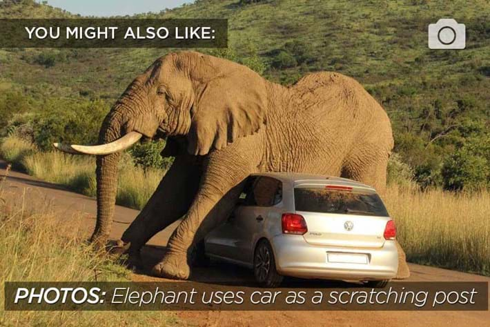 Scratching Elephant