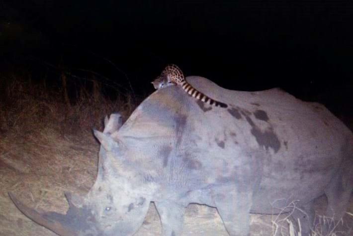 genet cat rides a rhino_2014_09_05