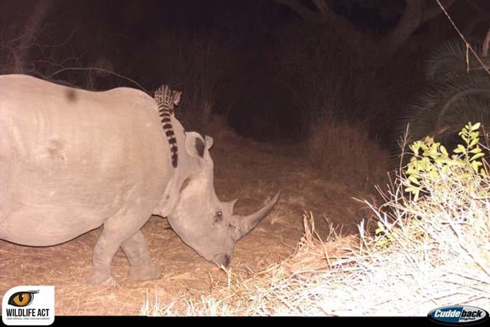Genet Riding Rhino 3 2014 09 05