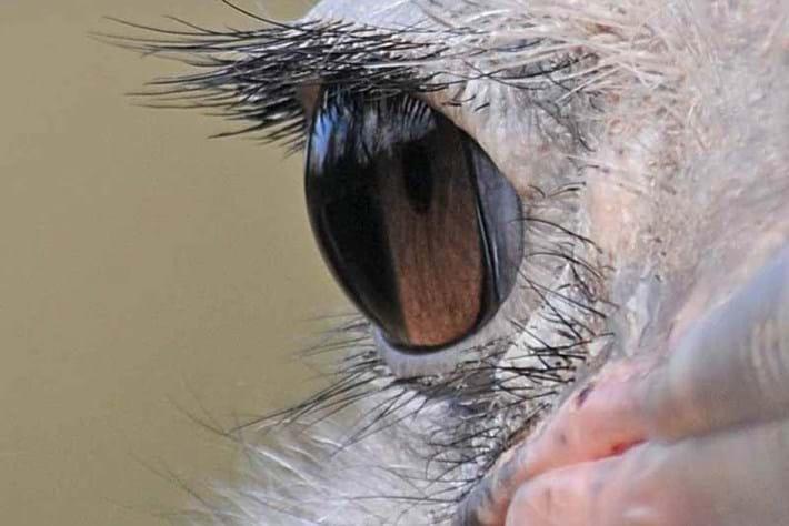Ostritch Eyelashes 2014 09 09