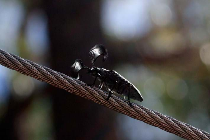 Feathered Horn Beetle 2014 09 09