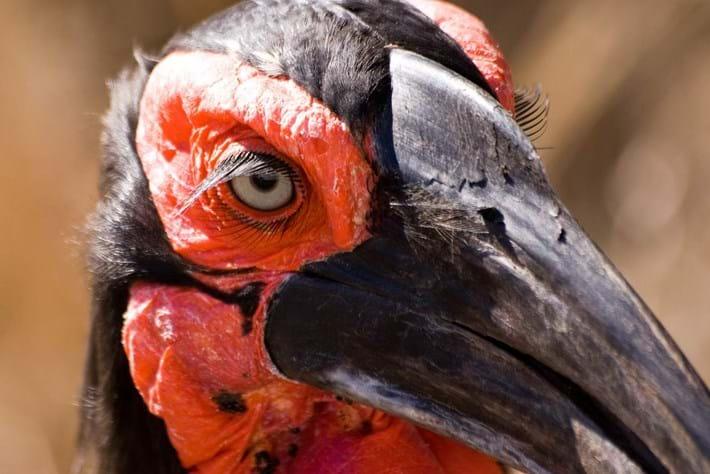 Ground Hornbill Eyelashes 2014 09 09