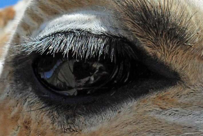 Giraffe Eyelashes 2014 09 09