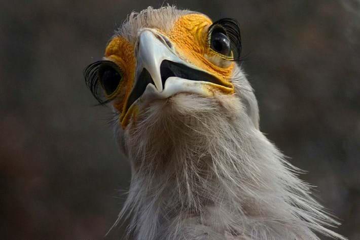 Secretary Bird Eyelashes 2014 09 09