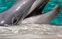 Is the new proposal to conserve Caribbean dolphins an empty promise?
