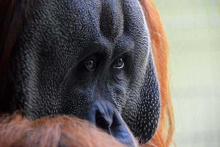 oranguatan_2014_09_10