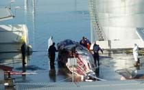 Slayed in Iceland: Shocking new report on fin whale slaughter