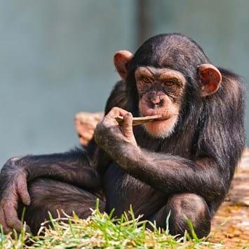 Chimpanzee Intelligence 2014 09 11