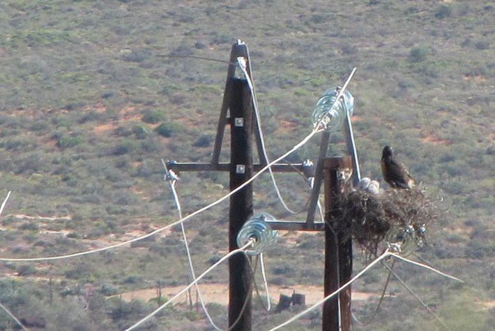 Buzzard On Electricity Pole 2014 09 12
