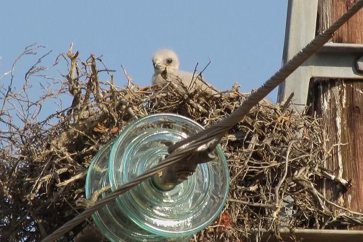 Buzzard Chick 2014 09 12
