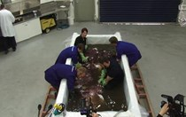 Video: Colossal squid dissection