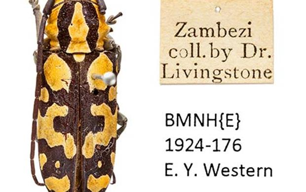 Livingstone's lost beetles