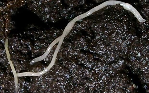 Life turns frosty for Arctic worm