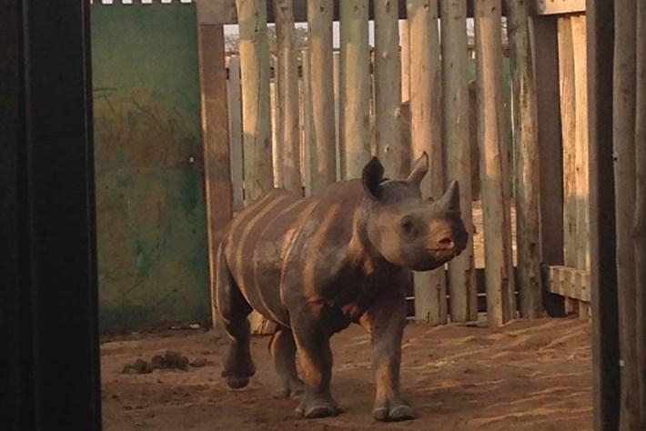 Baby Black Rhino 2014 09 23