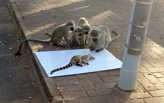 Are these monkeys showing empathy for a dying genet? (PHOTOS)
