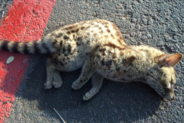 Injured Genet With On Road 2 2014 09 23