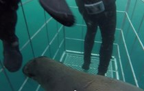 Video: Sea lion gets stuck in shark cage