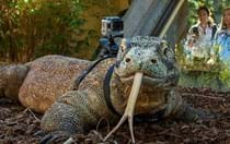 So this is how you really train your [Komodo] dragon